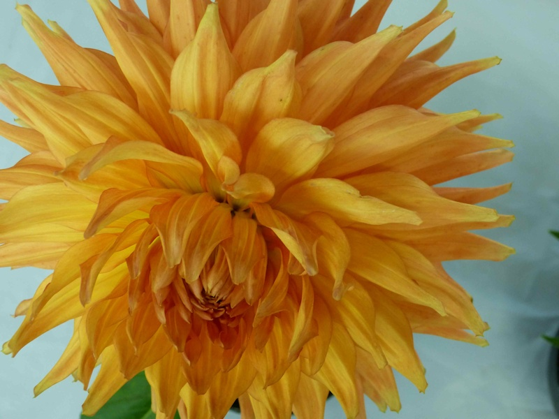 View more dahlias
