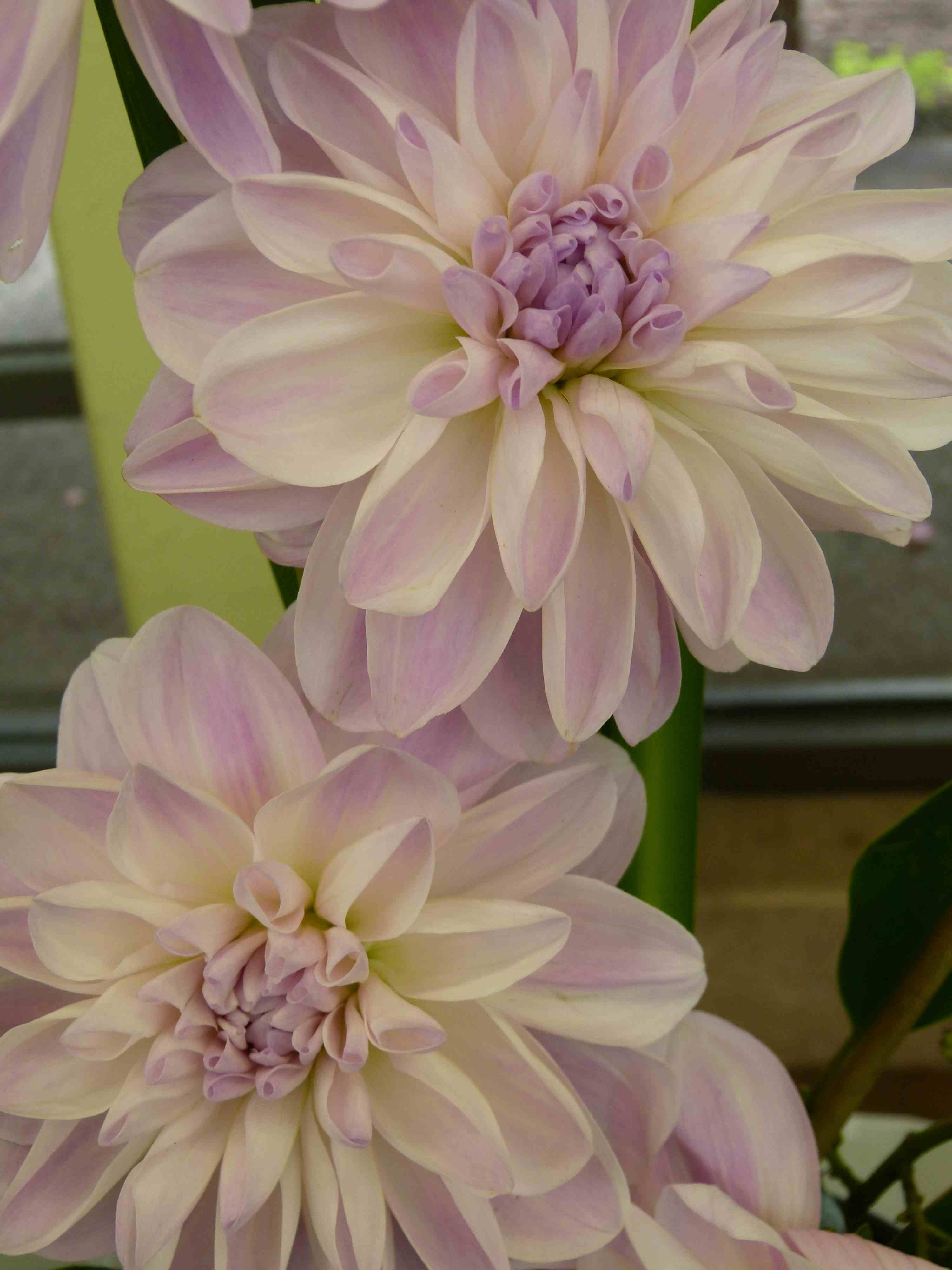 View slide show of Dahlias by Sarah Curtiss