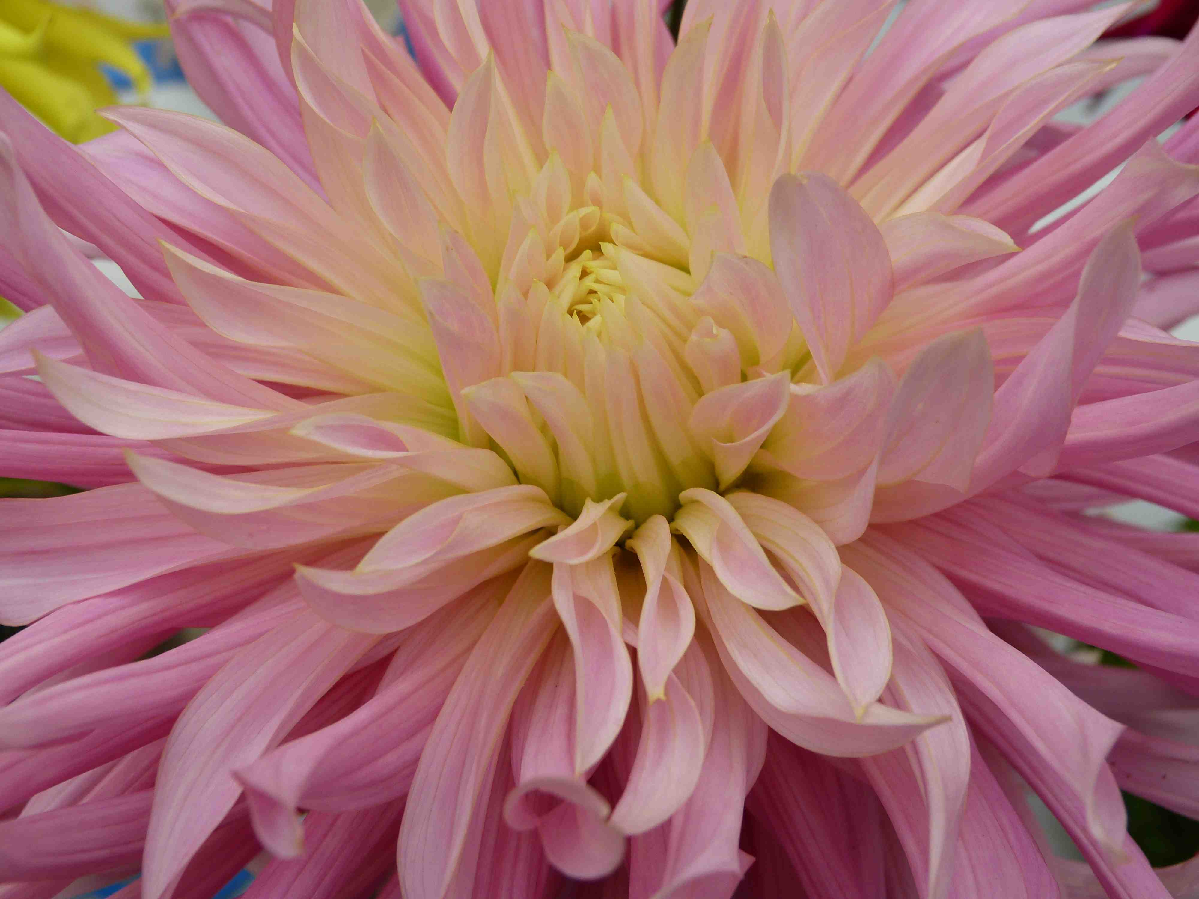 View thumbnails of dahlias by San Francisco artist Sarah Curtiss.